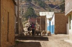 Schafsherde durch Cabanaconde