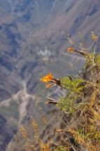 Blumen im Colca Canyon